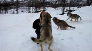 wolves remember kindness.И волки помнят добро.Она их вырастила.Встреча.