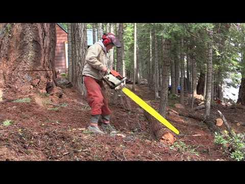 Felling a 500 year old Douglas Fir Tree