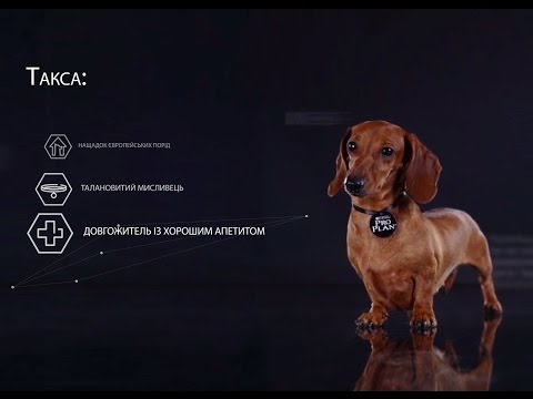 Такса ➠ Узнайте все о породе собаки