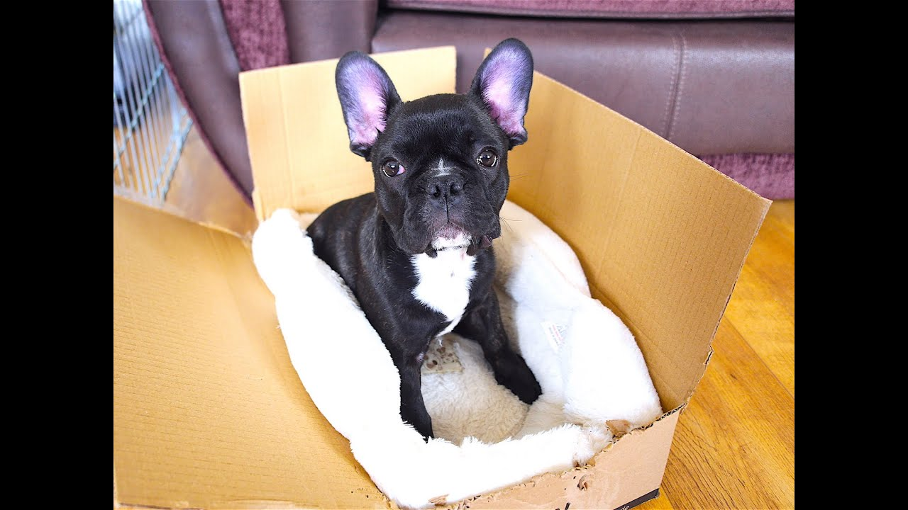FRENCH BULLDOG PUPPY 11 WEEKS OLD | CUTE PUPPY - YouTube