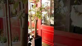 교대역꽃집 초미세먼지제거1등 공기정화 파키라식물화분 개…