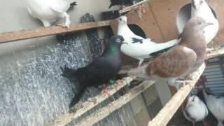 Güvercinlerin Bitleri Nasıl Temizlenir #1