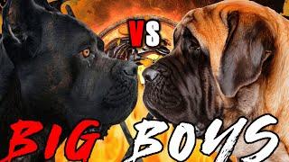 Cane Corso vs English Mastiff | English Mastiff vs Cane Corso | Powerful Guard Dog? | Billa Boyka |