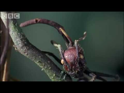Cordyceps attack of the killer fungi   Planet Earth Attenborough