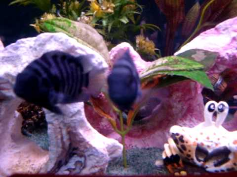 What i feed my Cichlids and Jewel fish
