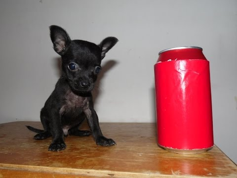 Pure Black Tiny Teacup Chihuahua Youtube