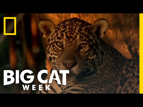 Learn About the Jaguar | Big Cat Week