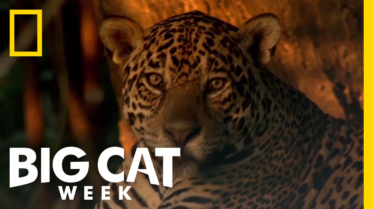 Learn About The Jaguar | Big Cat Week   YouTube