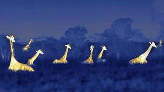 "Video Giraffe's ""Hum"" at Night to Communicate download MP3, 3GP, MP4, WEBM, AVI, FLV Desember 2017"