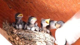 大きな口を開けて餌をねだるヒナ、それに応える親鳥、 慌しい動きの巣の...