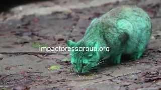 BULGARIA-Green Cat Varna Zelena kokta(More pix and videos at: http://impactpressgroup.org Bulgaria Green Cat A green painted cat looking for a food and is comforted by another orange cat at a street ..., 2014-12-05T13:28:48.000Z)