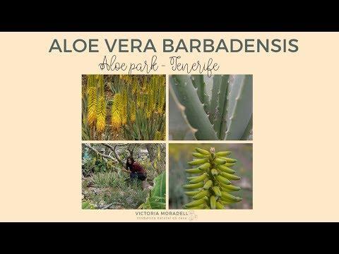 ALOE VERA BARBADENSIS: CÓMO IDENTIFICARLO | Aloe Park Tenerife