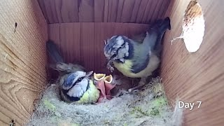 First Egg Hatching to Chicks Fledging - 21 days in 21 mins - BlueTit nest box camera highlights 2021