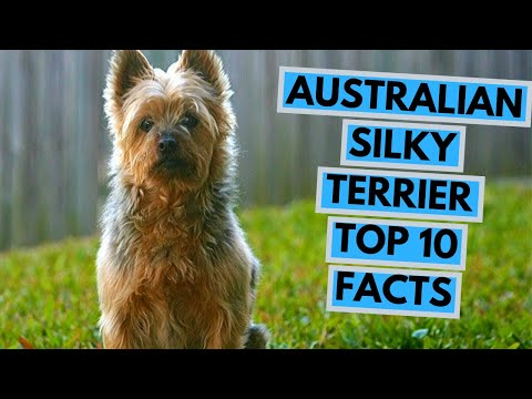 Australian Silky Terrier - TOP 10 Interesting Facts