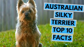 Australian Silky Terrier  TOP 10 Interesting Facts