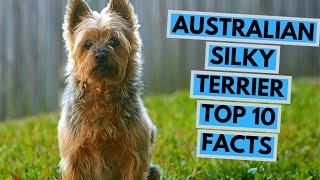 Australian Silky Terrier  TOP 10 Interesting Facts