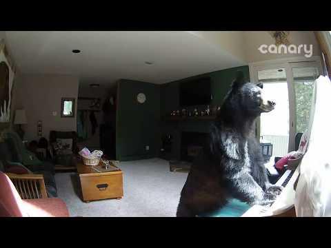 """Bear Breaks Into Colorado Home, """"Plays"""" Piano"""