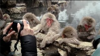 Snow monkeys soak in hot springs of Japan