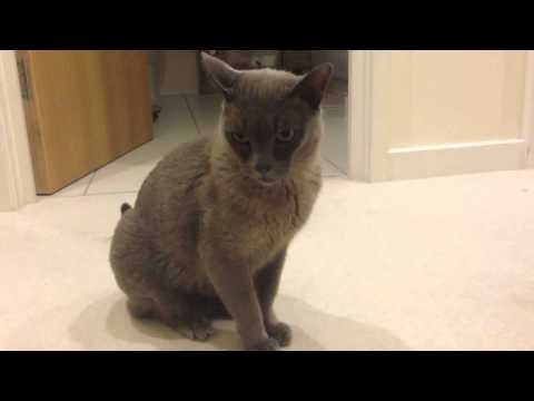 Burmese blue cat
