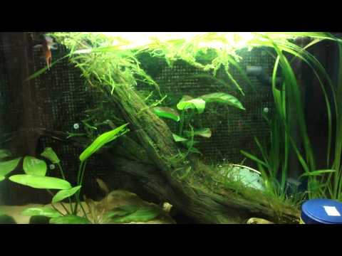 Video Tropical catfish food