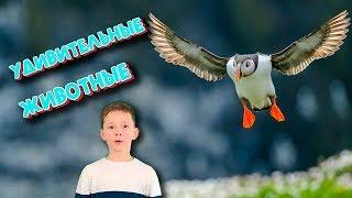Необычная птица ТУПИК / Никита о животных/ to children about animals / surprising bird of puffin 6+