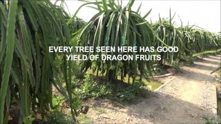 #1 Dragon Fruit Plantation-Long An Province, VIETNAM (Mr Trung)