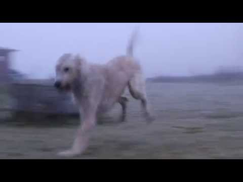 Short sprint, whippet and irish wolfhound
