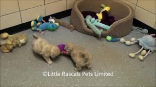 Little Rascals Uk Breeders New Litter Of Shipoo Puppies