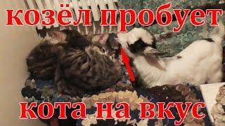 Козел пробует на вкус  кота Козлята в квартире goat tries cat the taste goats in the apartment