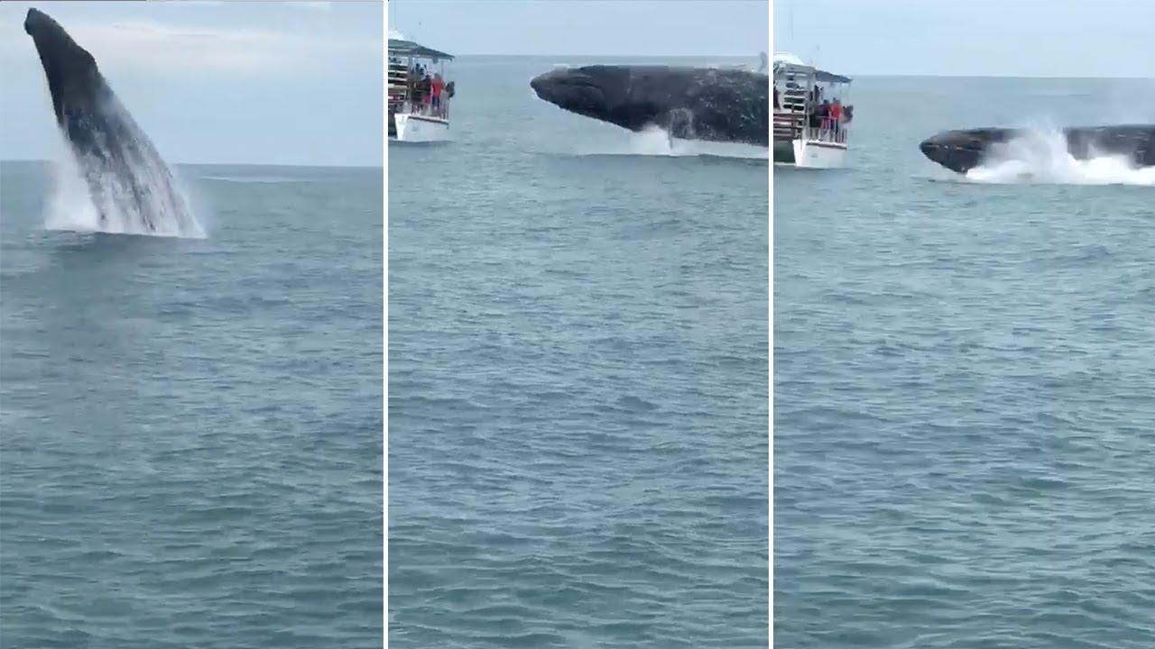לווייתן ענק מזנק מהמים במרחק מטרים ספורים מסירת תיירים