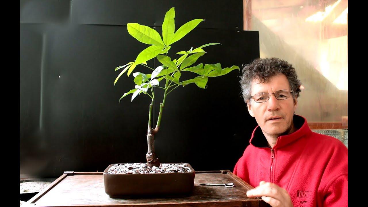 Money Tree Bonsai Pachira Aquatica June 2016
