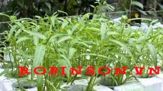 Giống hạt rau muống của Trang Nông