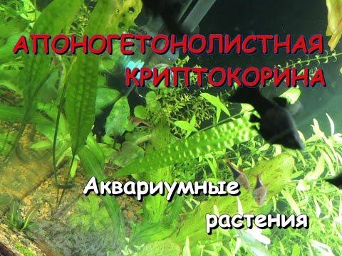 Криптокорина апоногетонолистная(Cryptocoryne aponogetifolia)