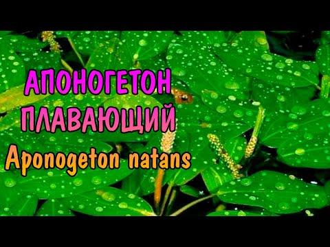 АПОНОГЕТОН ПЛАВАЮЩИЙ ( Aponogeton natans )
