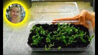 Посев семян Баклажанов с кипятком ! Результат как всегда .