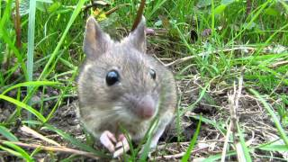 This Wood Mouse Can Infest Your Home!