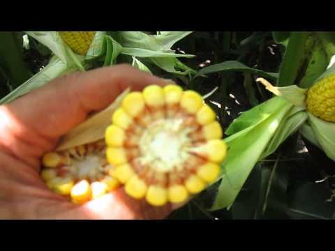 Calculating Corn Bushels Per Acre