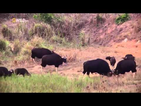 Nat Geo Wild HD Wild Thailand HD Nature Documentary