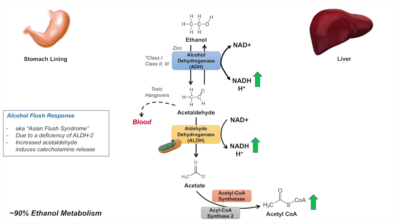 hight resolution of ethanol absorption and metabolism alcohol metabolism pathway