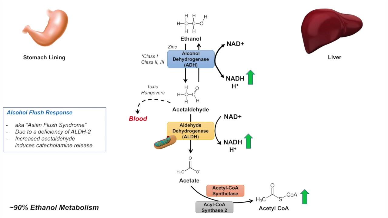 medium resolution of ethanol absorption and metabolism alcohol metabolism pathway
