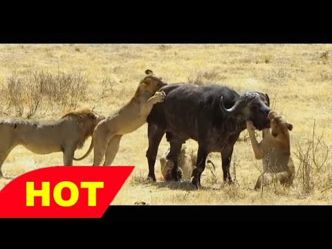 Lion NOTCH, The Documentary NOTCH s Army Super Coalition of Male Lions   lions documentary