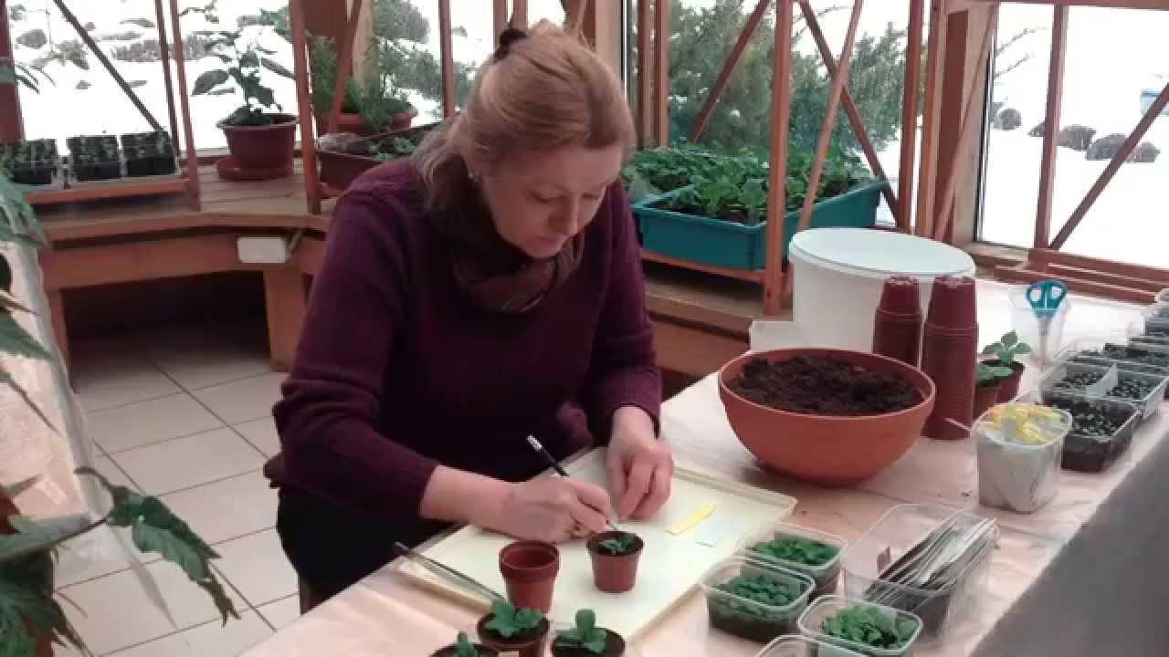 пошаговое выращивание петунии из семян