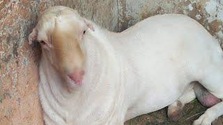 Mundra Chatra Dera Ghazi Khan Mandi mein Har Gym Mein Mandi