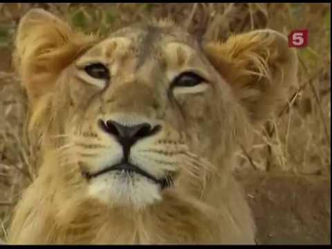 Последние львы Индии /The Last Lions Of India