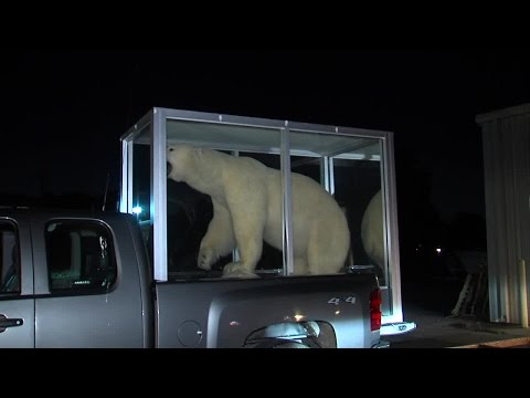 Riverside Polar Bear