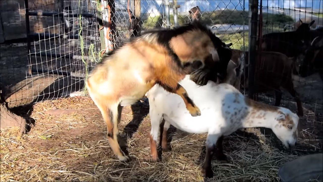 Insemination alpine sperm goat