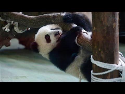 Baby Panda Yuan-Zai Plays at the Taipei Zoo