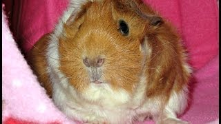 NEW: Guinea Pig, Cages & Room Set Up!  Tour Time!