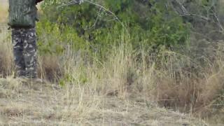 vuclip Shikar (hunting) kala teetar