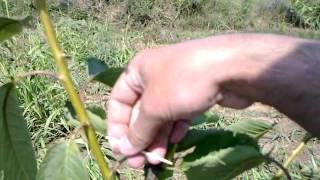 Povijanje grana čačkalicama Video